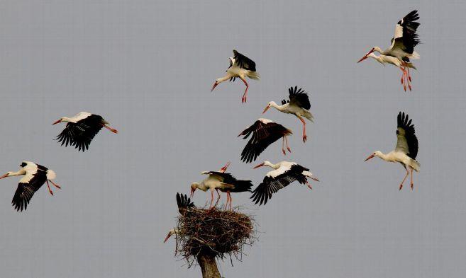 les-cigognes-blanches-nouvelles-pepites-creusoises_3558297
